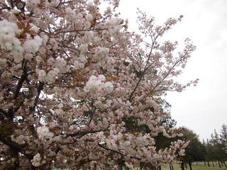 八重桜 (2).JPG