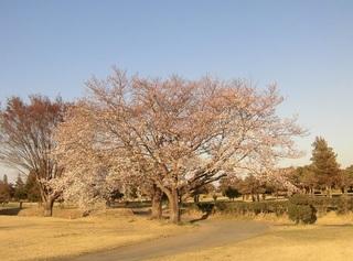 親子桜.jpg